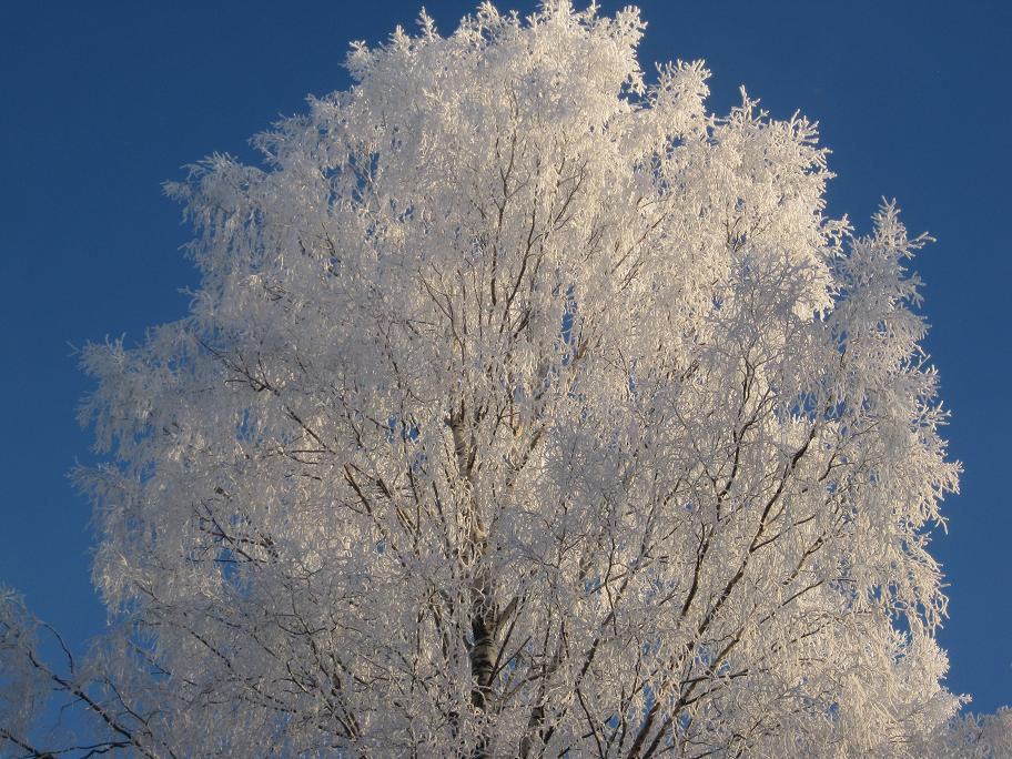 Snowy tree in Finland